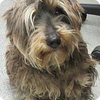 Adopt A Pet :: Darla - Lincolnton, NC