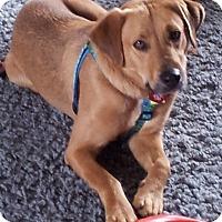 Adopt A Pet :: Pooh Bear - Huntsville, AL