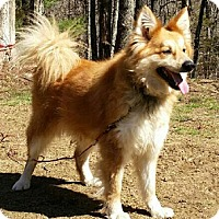 American Eskimo Dog/Collie Mix Dog for adoption in Canterbury, Connecticut - Coffee