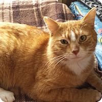 Domestic Shorthair Cat for adoption in Jeannette, Pennsylvania - Gordy