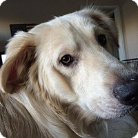 Great Pyrenees Mix Dog for adoption in Ascutney, Vermont - Jackson - Coming soon!