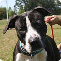 Pointer/Pit Bull Terrier Mix Dog for adoption in Lawrenceville, Georgia - Gunnar
