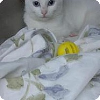 Adopt A Pet :: Ivory - Whitestone, NY