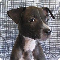 Labrador Retriever Puppy for adoption in Valparaiso, Indiana - Platinum