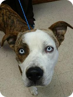 Siberian Husky/Pit Bull Terrier Mix Dog for adoption in Ashtabula, Ohio - Irock