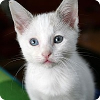 Siamese Kitten for adoption in Austin, Texas - Isadora