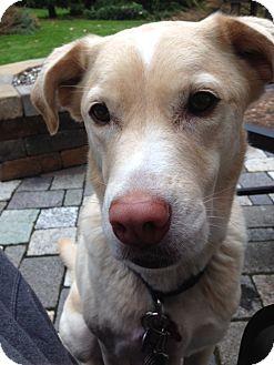 Labrador Retriever Mix Dog for adoption in Grafton, Wisconsin - Daisy aka Princess Diana