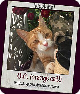 Domestic Shorthair Cat for adoption in Lincoln, Nebraska - O.C. (orange cat!)