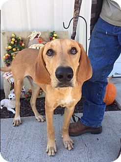 Hound (Unknown Type)/Retriever (Unknown Type) Mix Dog for adoption in Coventry, Rhode Island - Copper