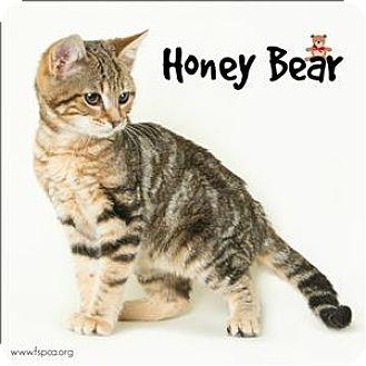 Domestic Shorthair Kitten for adoption in Troy, Virginia - Honey Bear