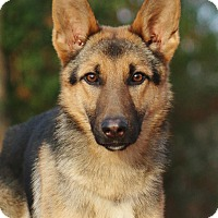German Shepherd Dog Dog for adoption in Nashville, Tennessee - Oakli