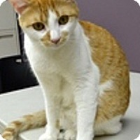 Adopt A Pet :: Felix-PLAYFUL & AFFECTIONATE - Naperville, IL
