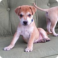 Adopt A Pet :: Chuckee White in RI - Providence, RI