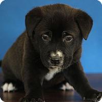 Adopt A Pet :: BooBoo - Waldorf, MD