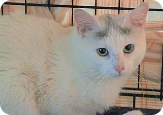 Turkish Van Cat for adoption in Berkeley Hts, New Jersey - Blue