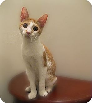 Domestic Shorthair Kitten for adoption in Richmond, Virginia - Passel of Kittens (Jaspurr)