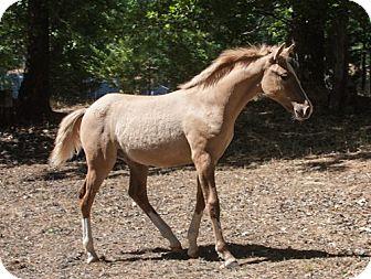 Quarterhorse Mix for adoption in El Dorado Hills, California - Roo