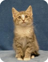 Domestic Mediumhair Cat for adoption in Sacramento, California - Tom
