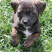 Adopt A Pet :: Holly - La Habra Heights, CA