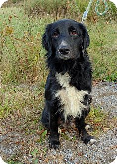 Golden Retriever/Springer Spaniel Mix Dog for adoption in Toronto/GTA, Ontario - ROMEO