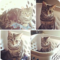 American Shorthair Cat for adoption in Monrovia, California - Tori