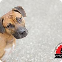 Adopt A Pet :: Chase - Jupiter, FL