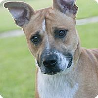 Adopt A Pet :: Ryker-passed k9 unit training! - Norwalk, CT