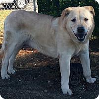 Adopt A Pet :: Sierra - Petaluma, CA