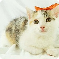 Adopt A Pet :: Sassy - Harrisonburg, VA