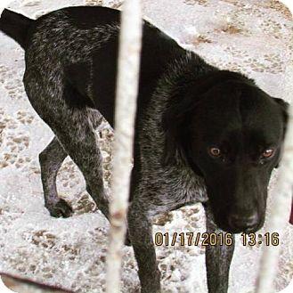 Australian Cattle Dog/Labrador Retriever Mix Dog for adoption in Portland, Indiana - Quincy