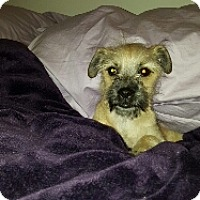 Adopt A Pet :: BEAUTIFUL BICHON AND YORKIE  'BORKIE' - Surprise, AZ