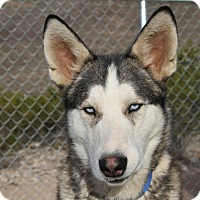 Siberian Husky Dog for adoption in Alamogordo, New Mexico - Sam