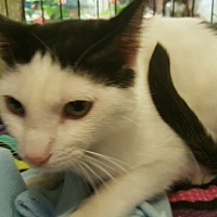 Turkish Van Cat for adoption in Alhambra, California - Thumper