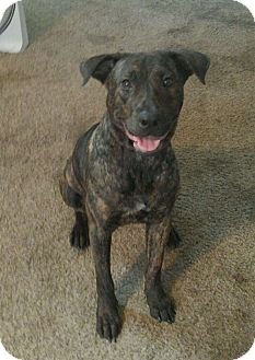 Catahoula Leopard Dog Mix Dog for adoption in Windermere, Florida - Valkry