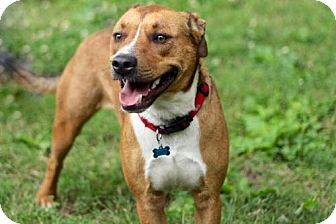 Boxer/Hound (Unknown Type) Mix Dog for adoption in Franklin, Tennessee - BRANDY