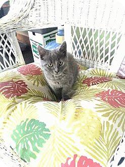 Domestic Shorthair Cat for adoption in El Dorado Hills, California - Peaches