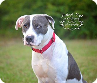 American Bulldog/Hound (Unknown Type) Mix Dog for adoption in Fort Valley, Georgia - Hiway