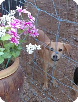 Whippet Mix Dog for adoption in Tonopah, Arizona - Ginger