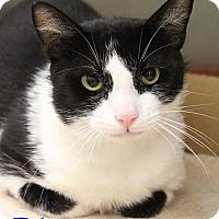 Domestic Shorthair Cat for adoption in Bradenton, Florida - Dino