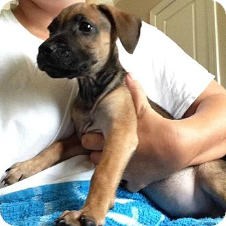 Beagle Mix Puppy for adoption in greenville, South Carolina - Rosemary