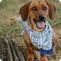 Adopt A Pet :: Scoobie - Muldrow, OK
