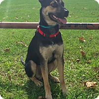 German Shepherd Dog/Shepherd (Unknown Type) Mix Dog for adoption in Manchester, New Hampshire - Shep