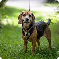 Beagle Mix Dog for adoption in Toronto, Ontario - June 3383