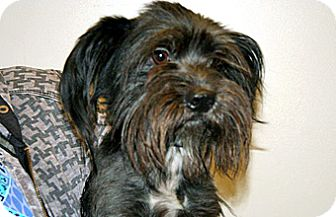 Terrier (Unknown Type, Small) Mix Dog for adoption in Wildomar, California - Buster