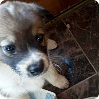 Adopt A Pet :: Shalom - Billings, MT