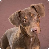 Adopt A Pet :: Donut - League City, TX