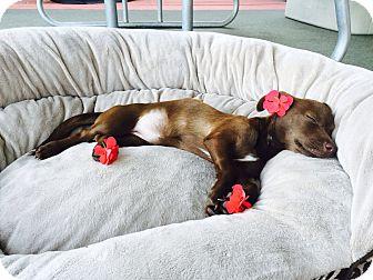 Dachshund/Chihuahua Mix Dog for adoption in Santa Barbara, California - Bitsy