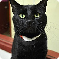 Adopt A Pet :: Midnight - Springfield, IL
