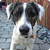 Adopt A Pet :: Holly - Sunnyvale, CA