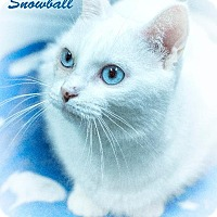 Adopt A Pet :: Snoball - Leesburg, FL